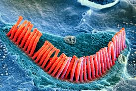 hair cells-color