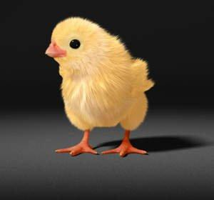 TN-69843_One-chick-looking-left-2-smaller_original